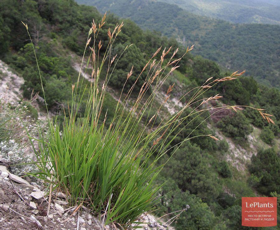 выращивание коротконожки  в альпинарии и на газоне