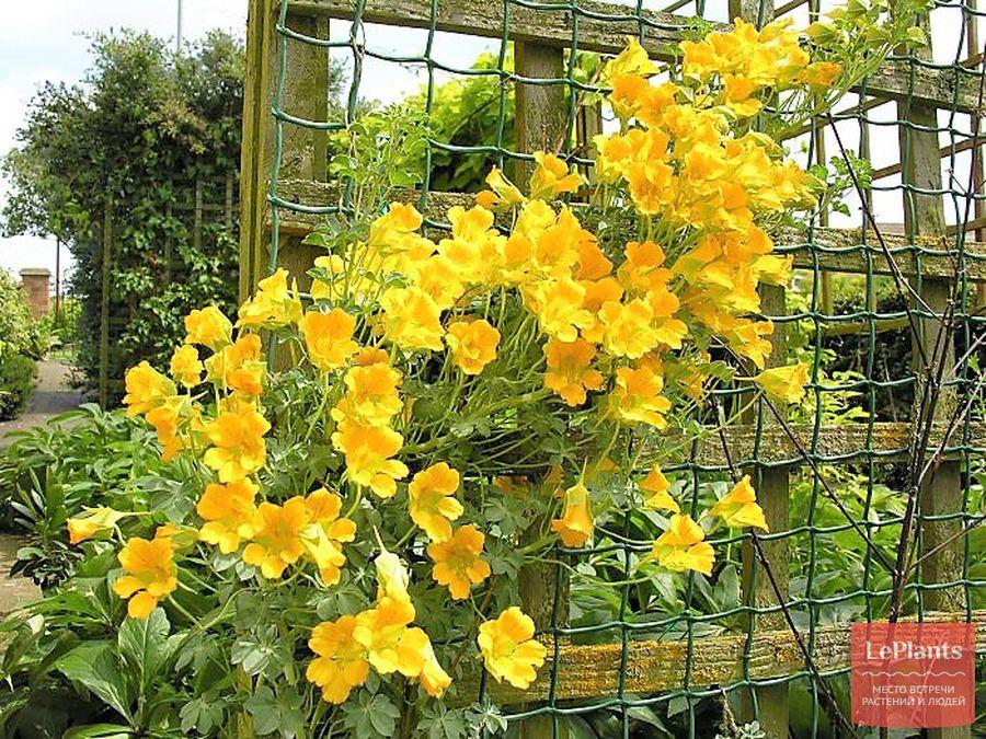 настурция вьющаяся — выращивание из семян