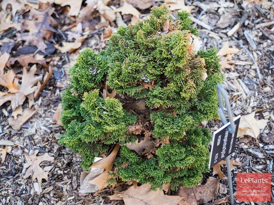 выращивание сортовых кипарисовиков тупых Rigid Dwarf