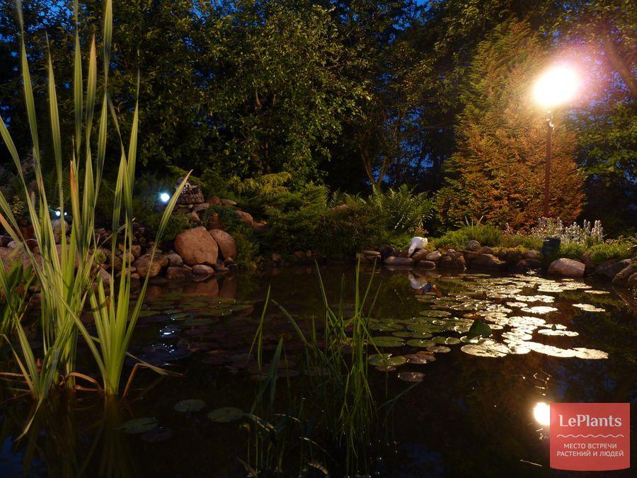 как вырастить нимфеи в садовом водоеме