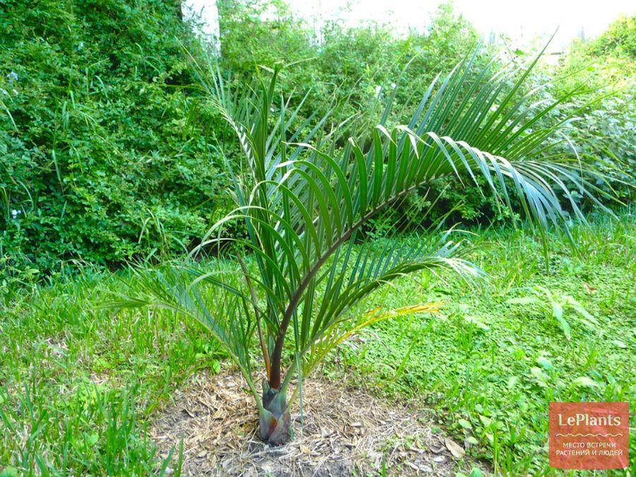 Треугольная пальма
