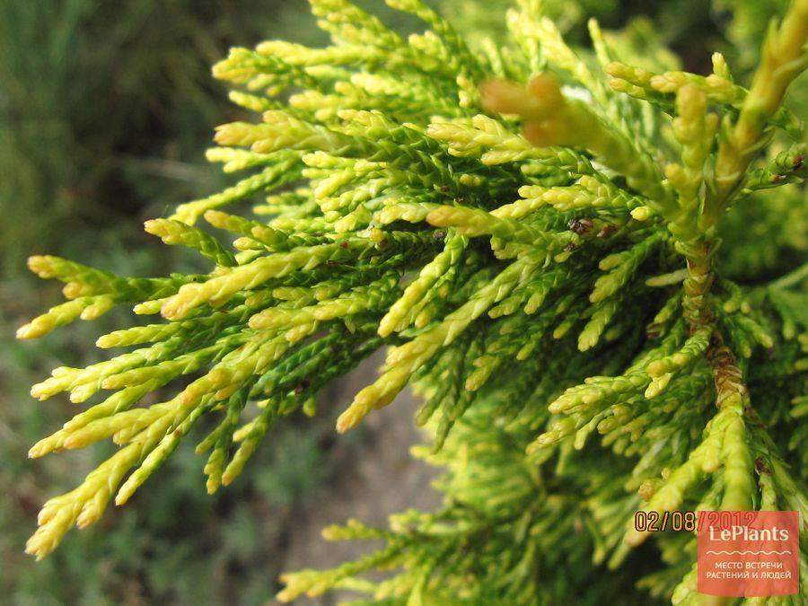 выращивание кипарисовика туевидного Variegata