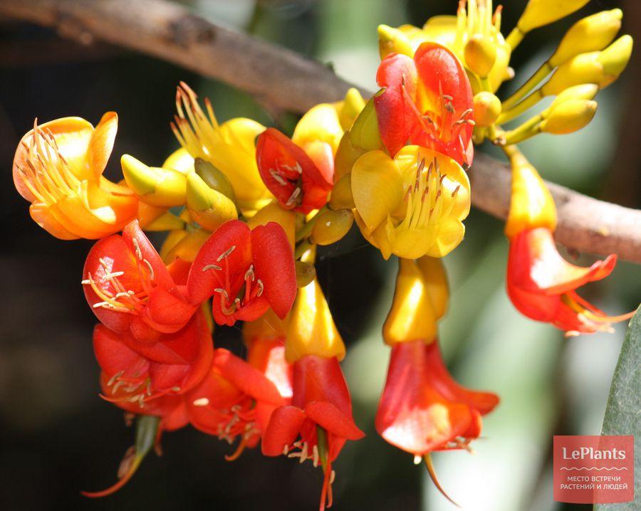 Каштаноспермум австралийский цветы