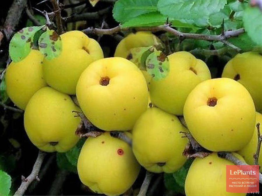 Плоды Хеномелеса Маулея