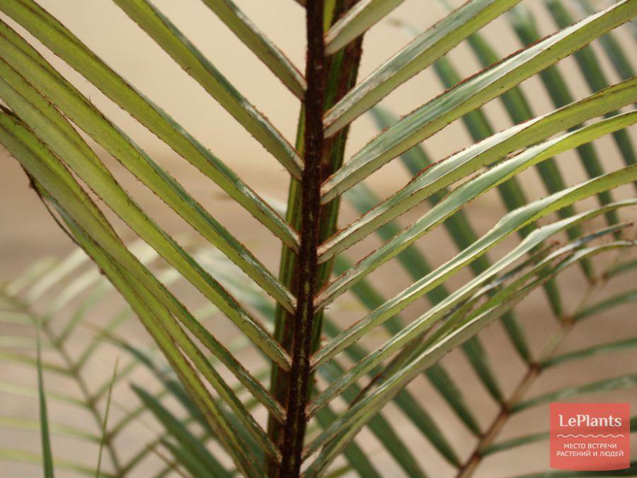 Лист Литокариума прекрасного