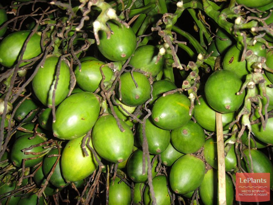 Незрелые плоды пальмы