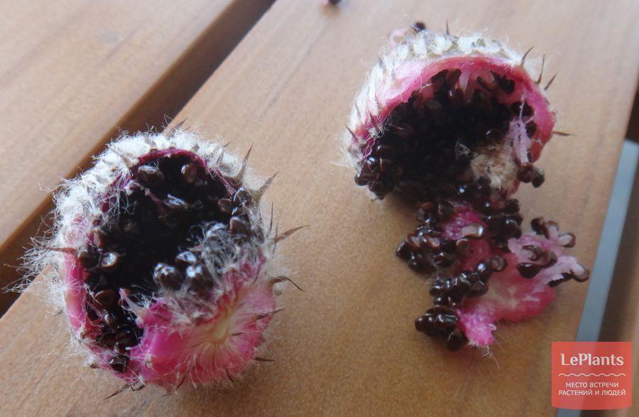 Астрофитум козерогий семена