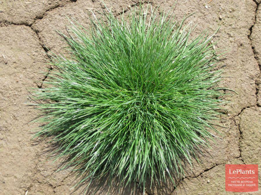 сорняки на газоне — фото и названия райграсса