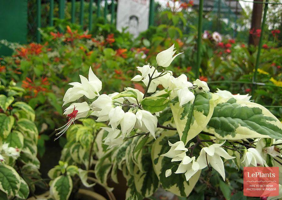 Clerodendrum thomsoniae Variegatum
