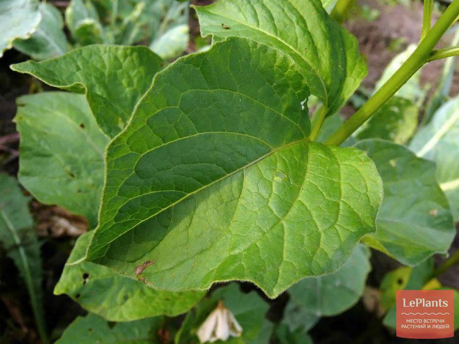 Листья Физалиса
