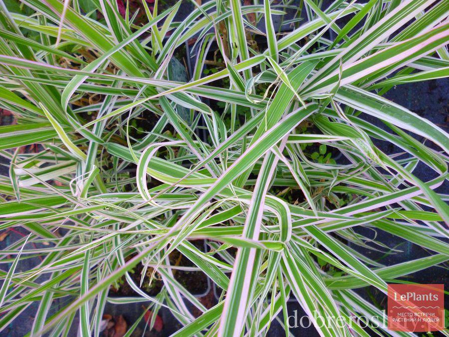 выращивание бухарника мягкого Альбовариегатус