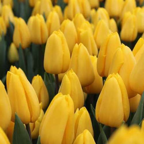 Тюльпаны оптом Иркутская область,Красноярский край, Новосибирская область, от производителя