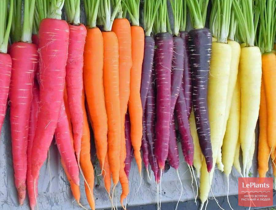 Лучшие сорта моркови для Подмосковья для открытого грунта