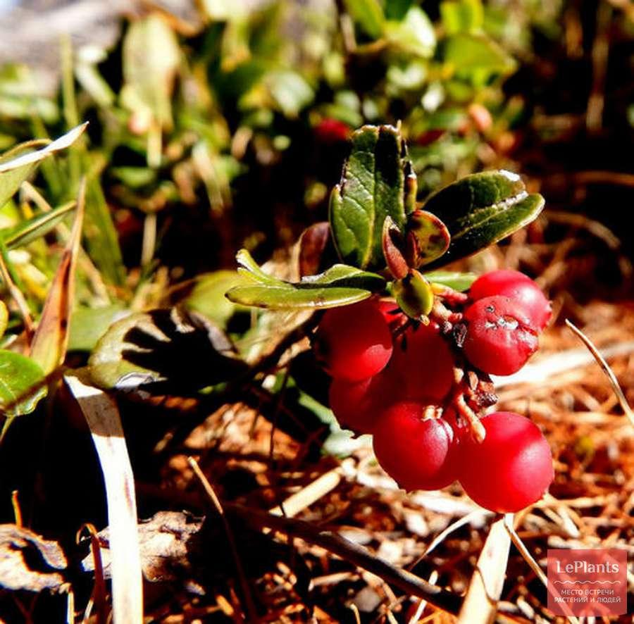 birch frunze cu varicoză