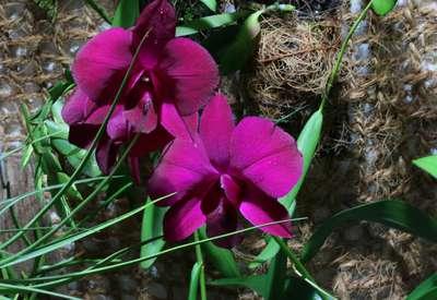 Дендробиум фаленопсис в полном цвету