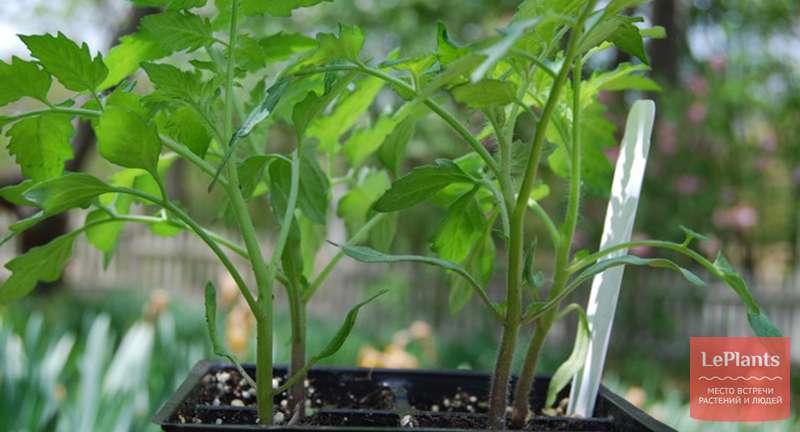 Выращивание рассады томатов в домашних условиях: от семечка до взрослого растения