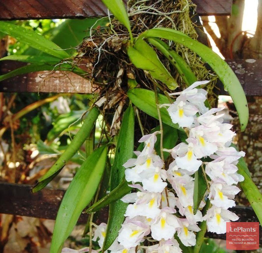 Rodriguezia bracteata