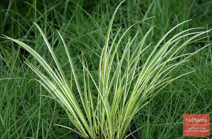 Acorus gramineus 'Albo variegatus'