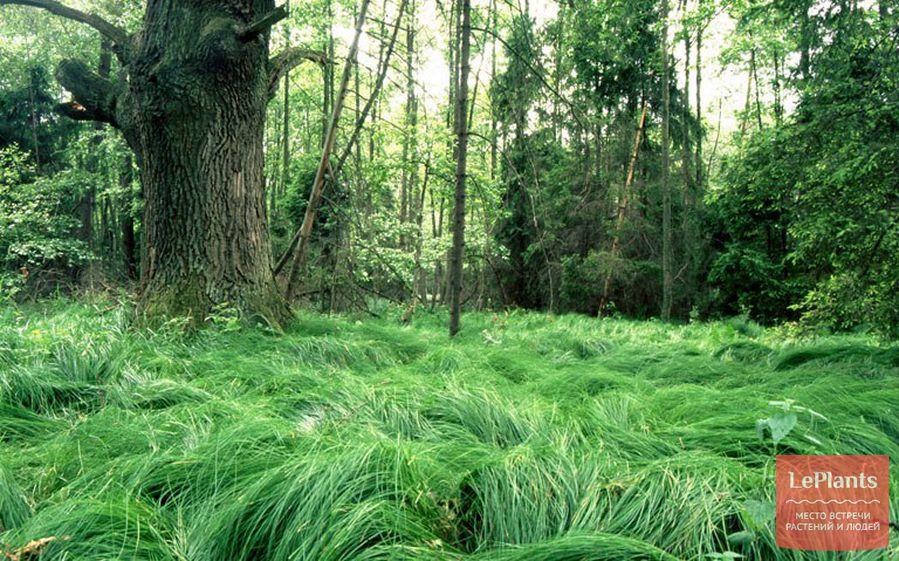 фото Мятлика лесного
