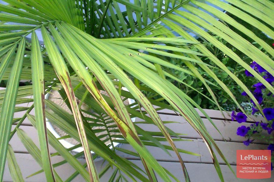 дипсис — как выращивать без пятнистости листьев