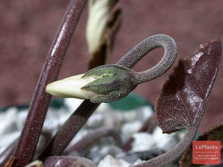 выращивание и полив цикламена