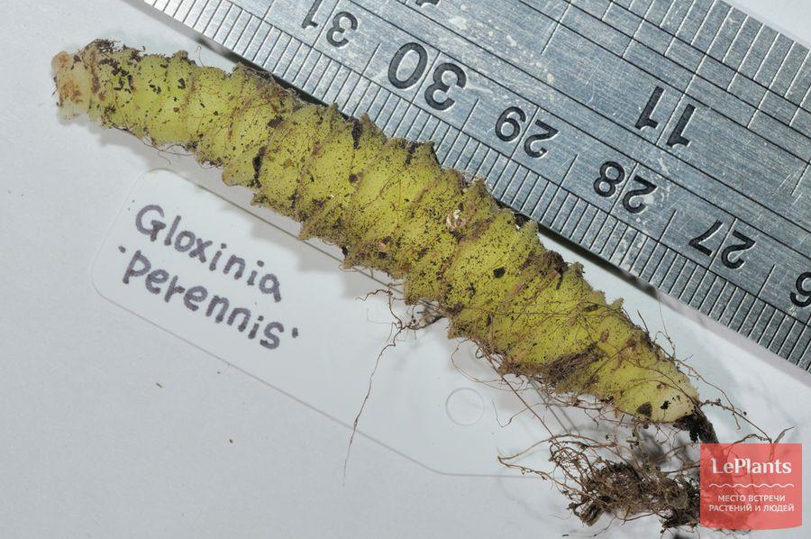 фото и описание глоксинии многолетней
