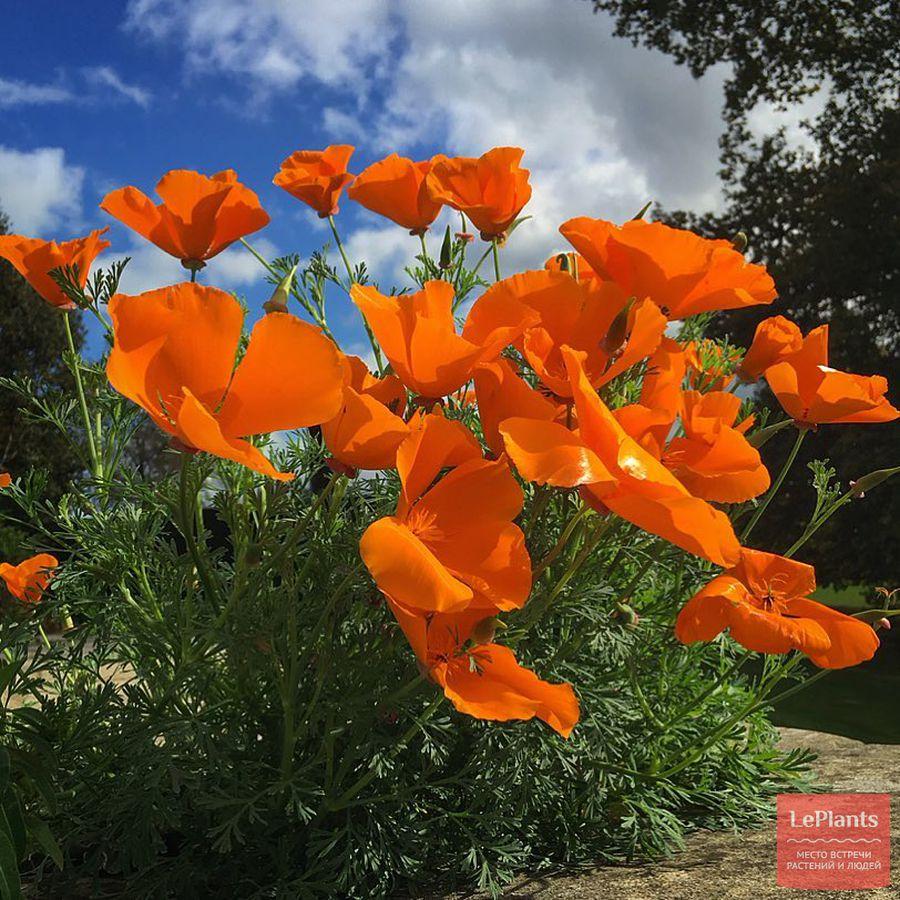 Эшшольция калифорнийская