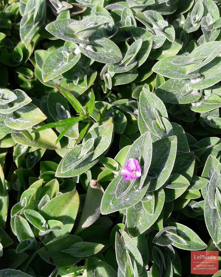 выращивание, содержание и уход за традесканцией силламонтана