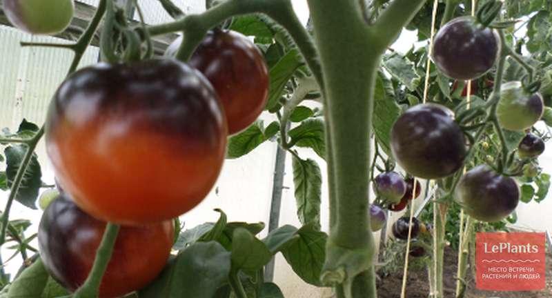 Обзор лучших сортов томатов для открытого грунта и теплицы