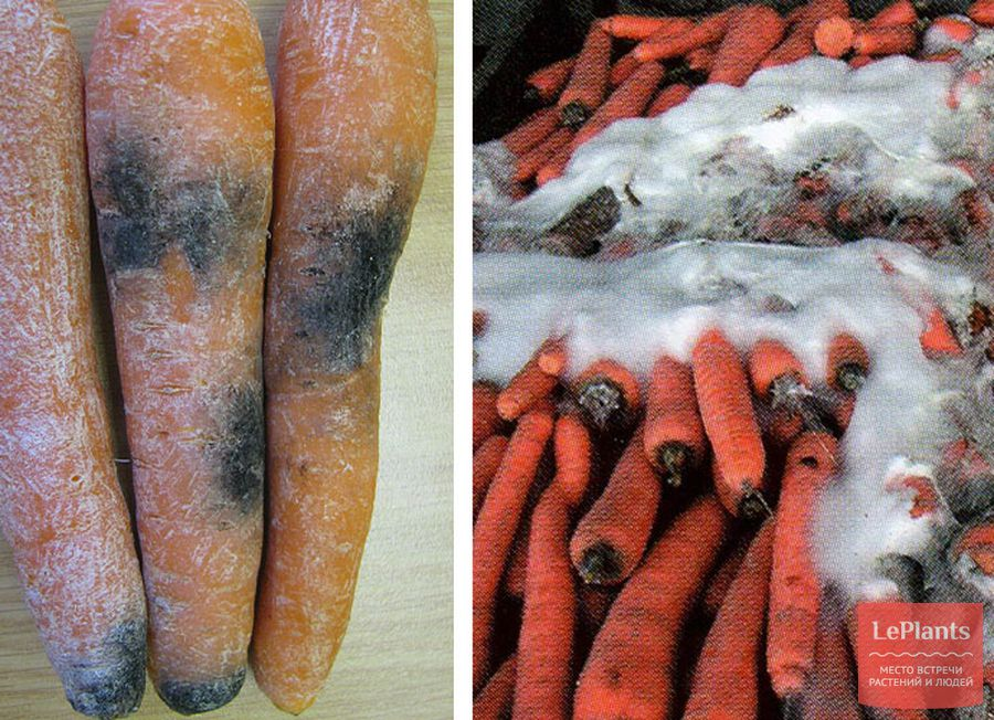 морковь гниет при хранении почему