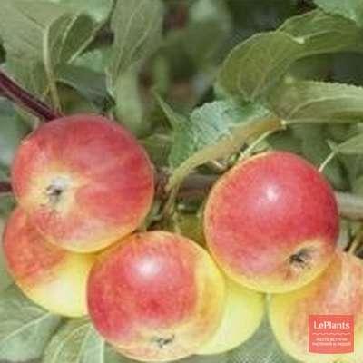 Яблоня 'Комаровское'