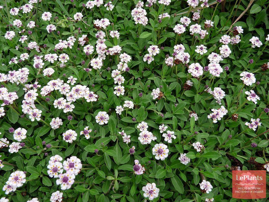 фила узловатоцветковая