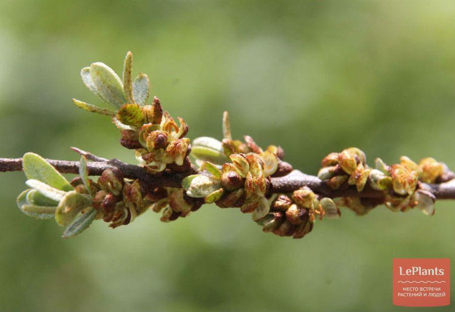 Мужские цветки Облепихи