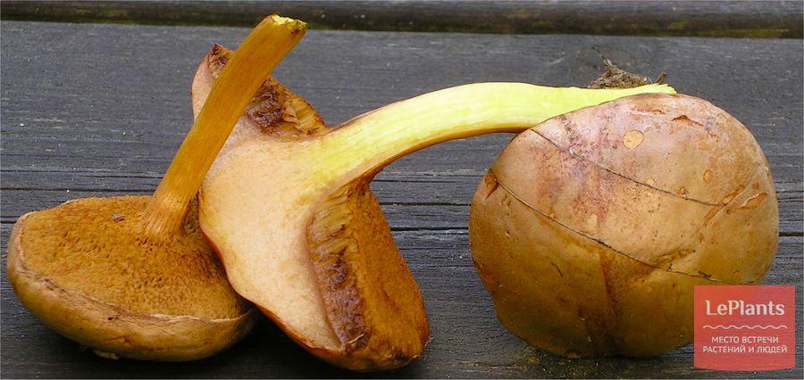 перечный гриб фото
