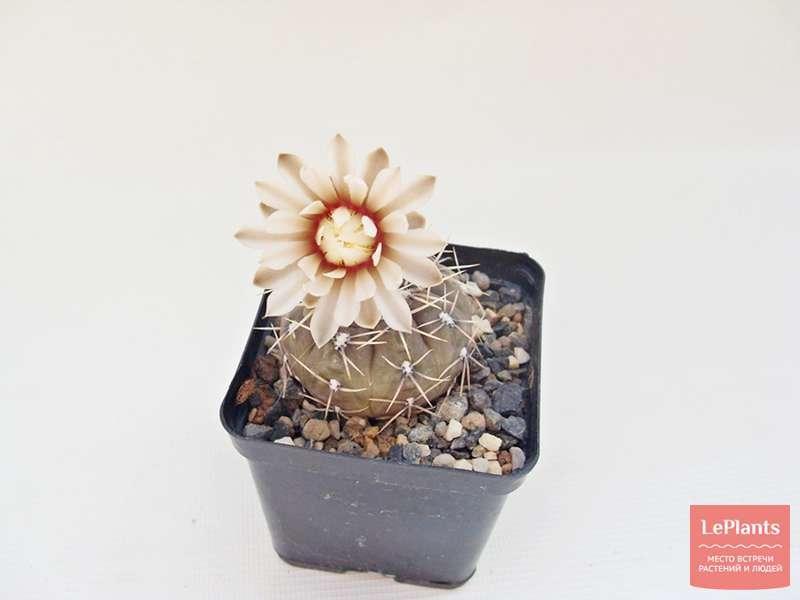 Гимнокалициум бальда — cvetokvgorshke