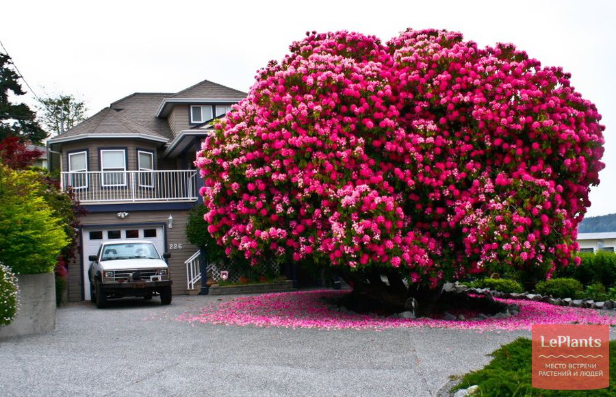 рододендрон — как выращивать