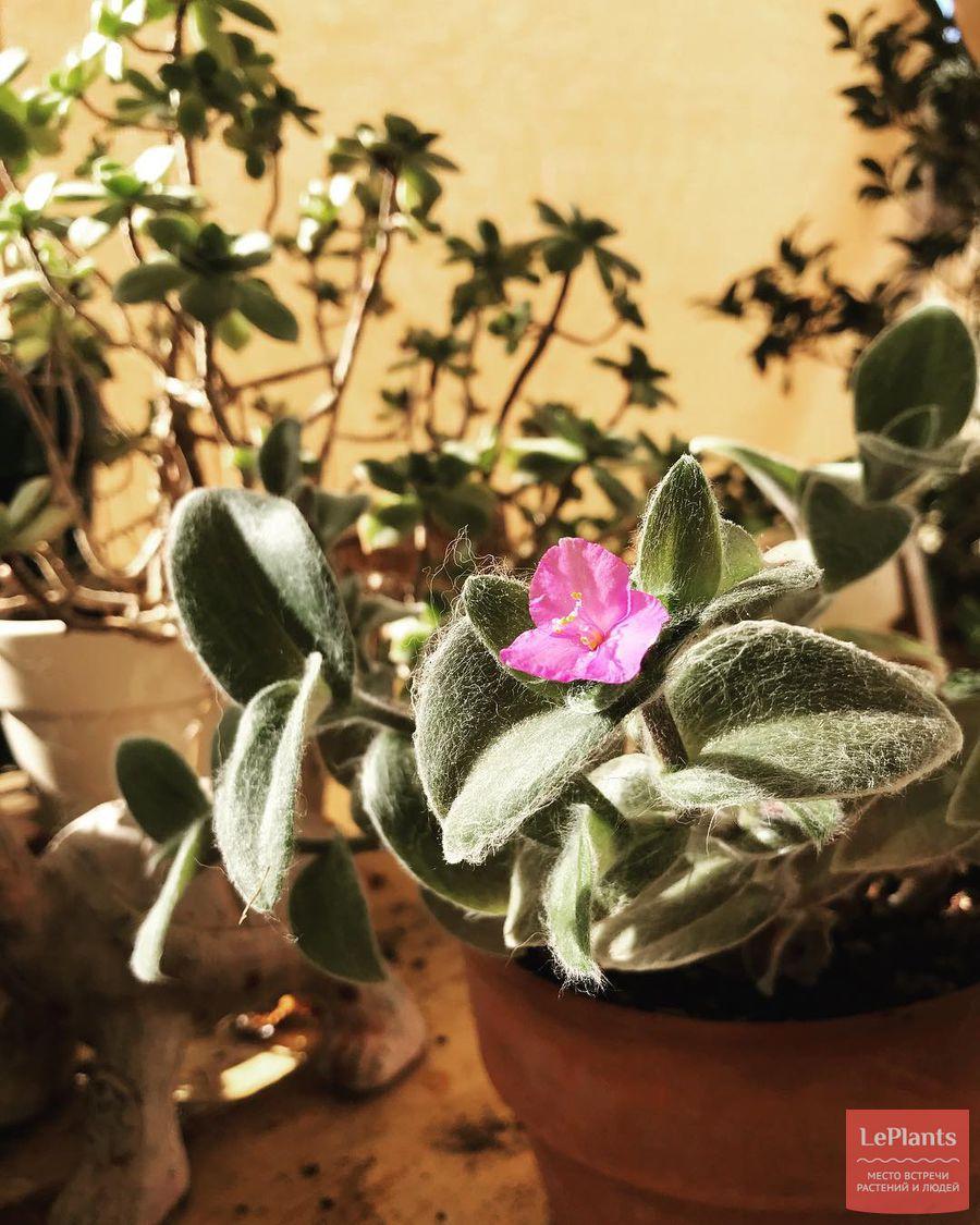 комнатное выращивание традесканции силламонтана