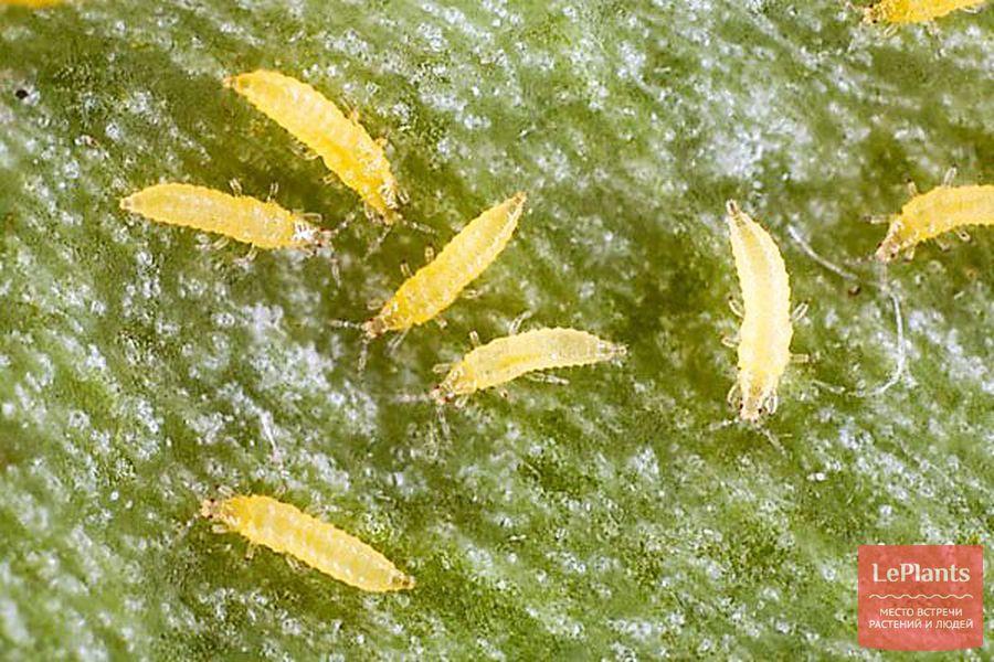 личинка калифорнийского трипса
