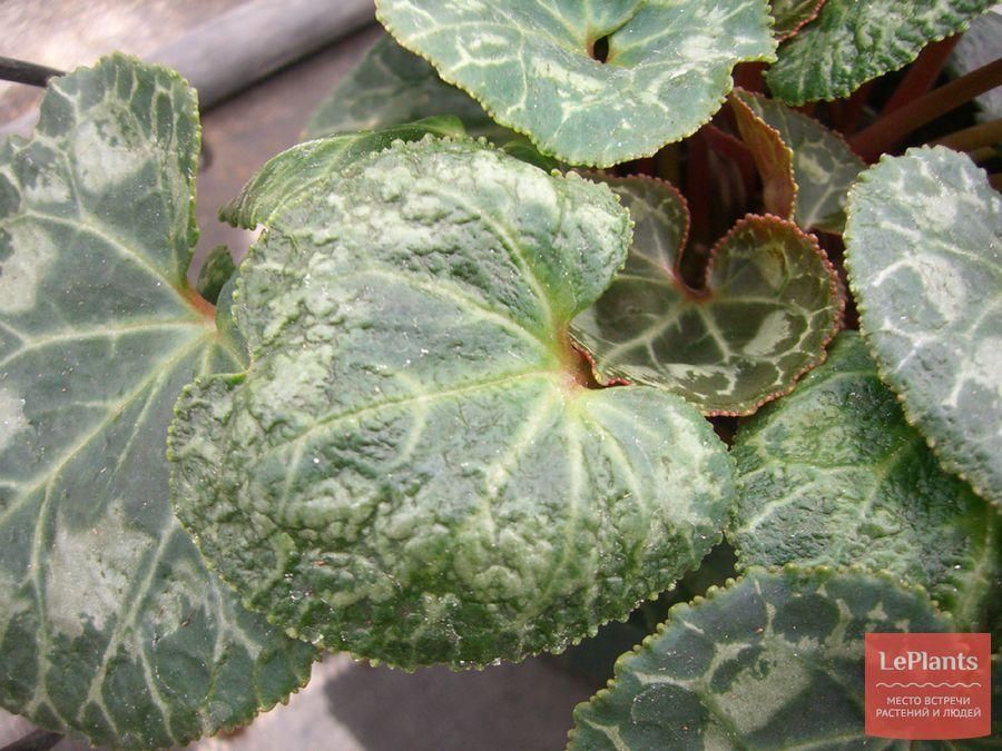выращивание цикламена без клещей