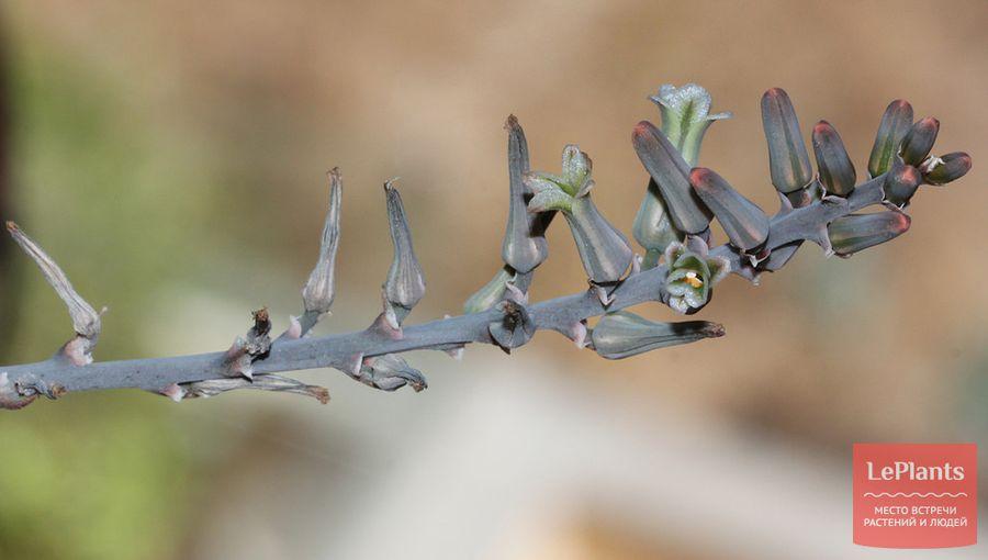 Цветки Хавортии карликовой