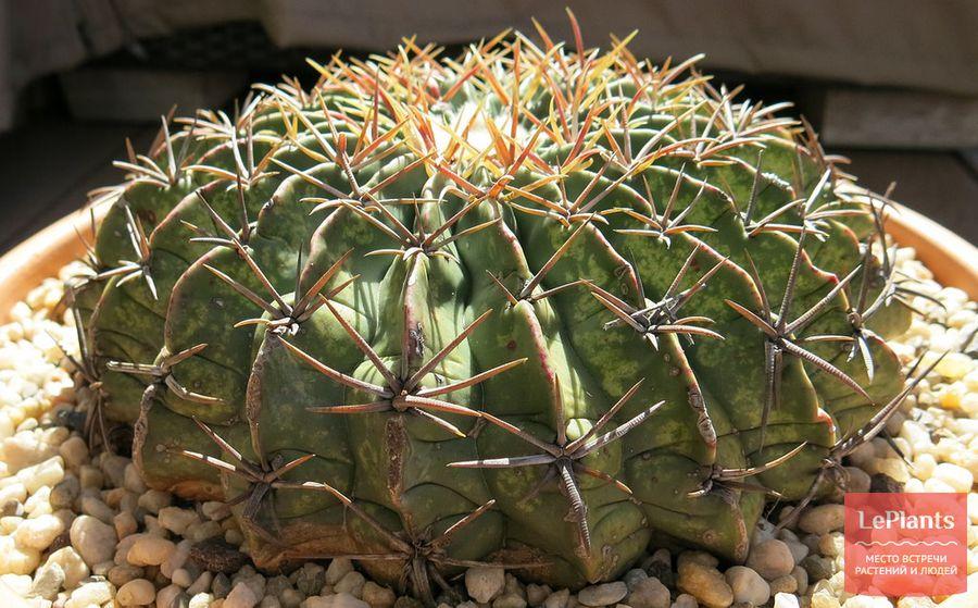 Эхинокактус Грузони техасский (texensis)