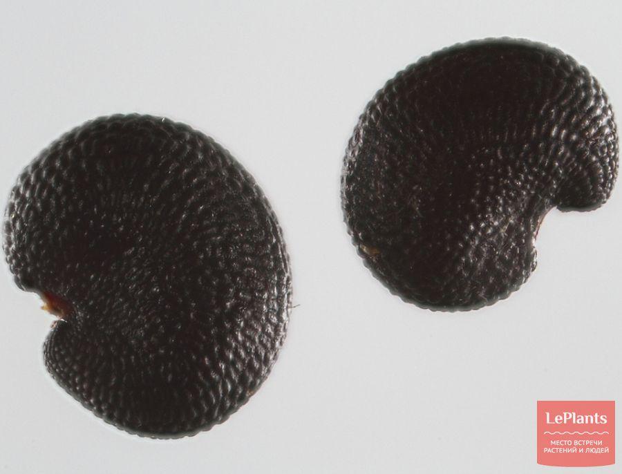 Семена Мыльнянки