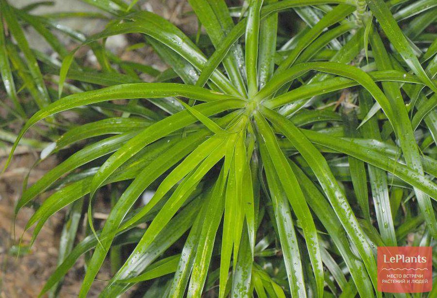 листья Драцены узколистной
