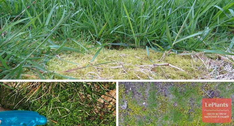 На газоне вырос мох — чем он плох?