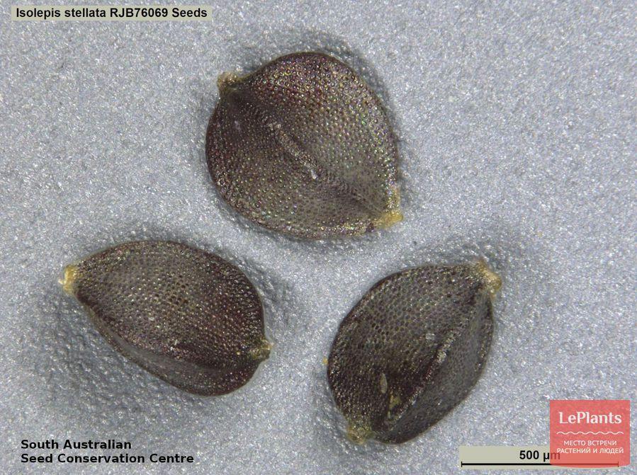 выращивание изолеписа из семян