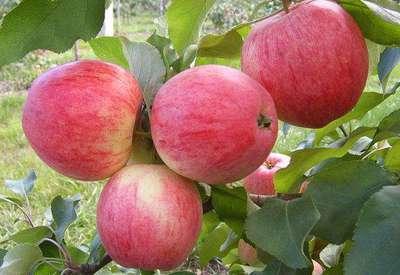 Яблоня 'Медуница'