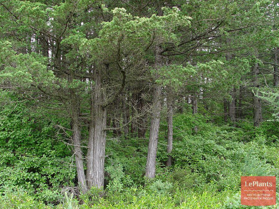 выращивание кипарисовика туевидного