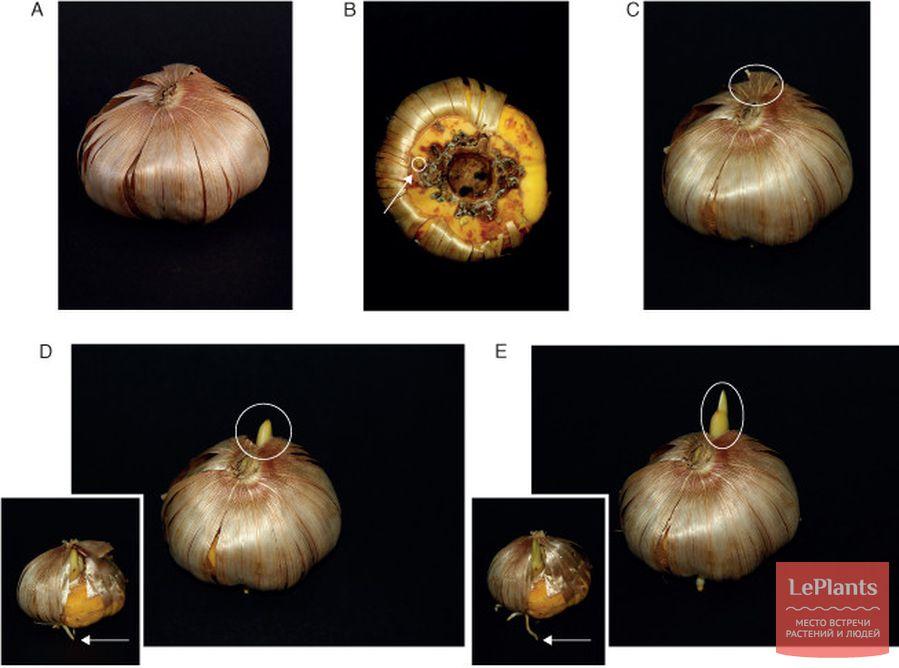 развитие луковицы гладиолуса