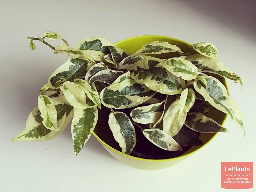 Ficus sagittata 'Variegata'