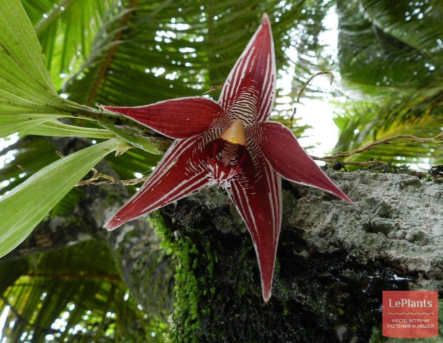 Paphinia cristata